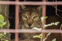 unknown-Big Cat Rescue-