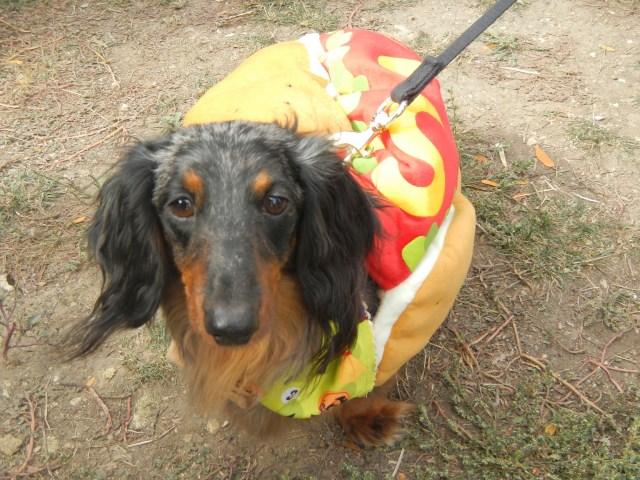 Daschund as a hot dog