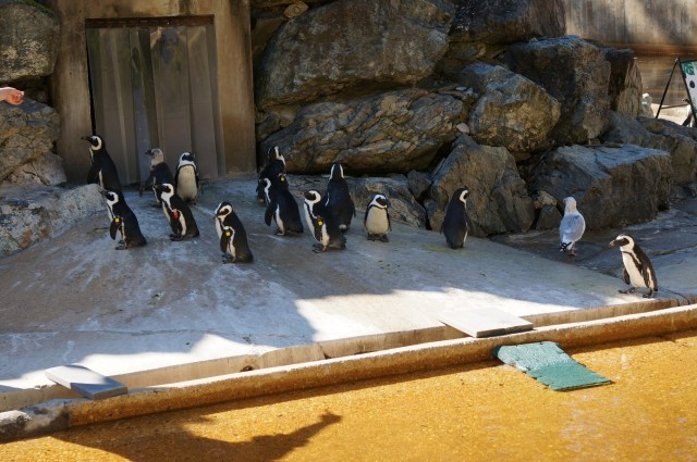 African Penguins at Maryland Zoo