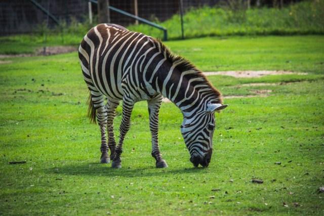 Global Wildlife Center Zebra