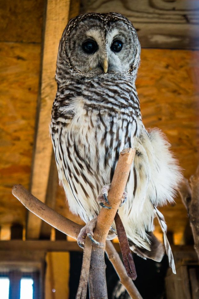 Tanglewood Preserve Rescue Owl