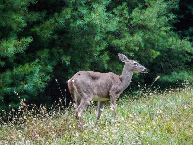 Deer on the Blue Ride Parkway