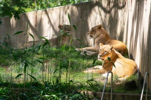 Big cats likely sick with COVID-19 at National Zoo in Washington