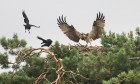 An osprey fighting off the attention of crows.