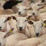 Lamb industry is focused on international trade