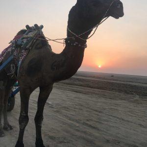 Camel cart ride, Rann of Kutch