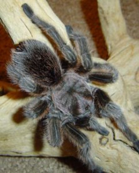 Buster the Rose Haired Tarantula