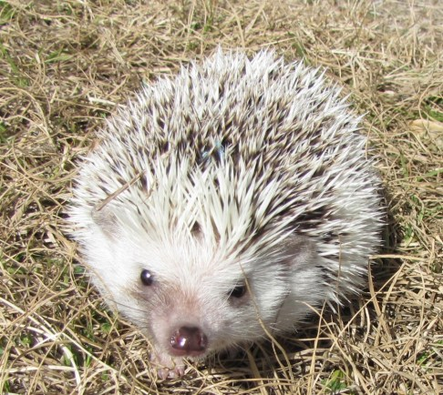 Chester the hedgehog