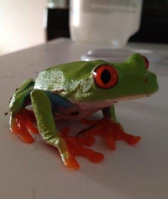 Bubble Gum the Tree Frog NO-TOUCH