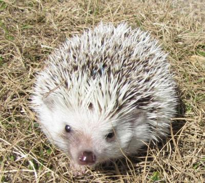 Chester the Hedgehog