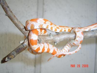 Herbie - Corn Snake