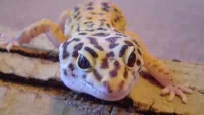 Freckles-the-leapard-gecko