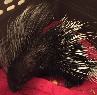 Spike the Porcupine (best for school programs only)