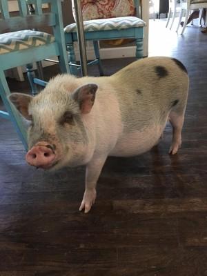 Hamlet the potbelly pig