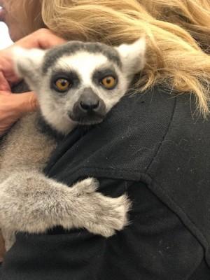 Julian - lemur (school programs)