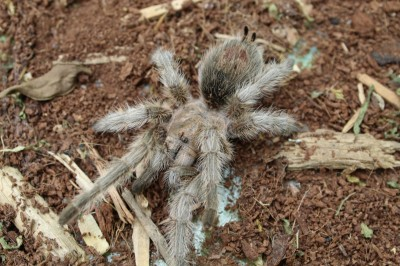 Charlotte - Chilean rose-haried tarantula