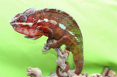 Rainbow - panther chameleon