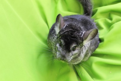 Spice - chinchilla