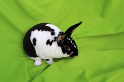 Patches - rex rabbit