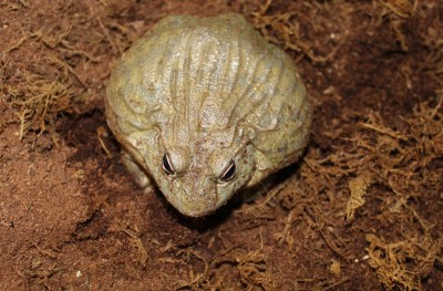 Pickles - African burrowing bullfrog