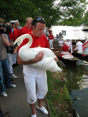 Swans are caught during the swan upping to create a swan census. Bll Tyne.