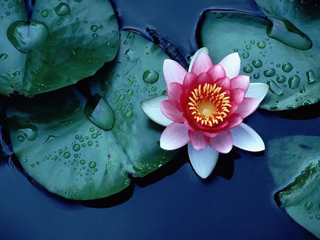Lotus. . .