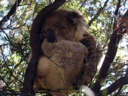 Great Ocean Road Australie  Koala