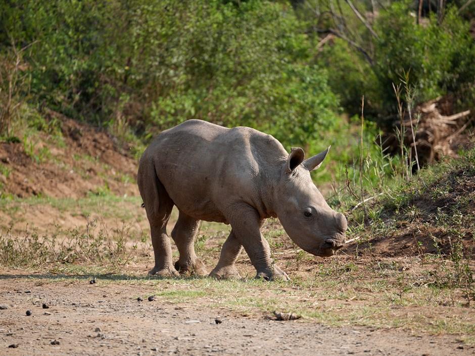 Baby Rhino Afrique du Sud