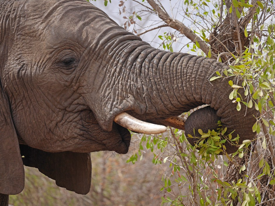 Elephant Safari Kruger