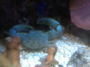 13C Big Claw Crab