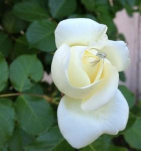 13D20 spider rose