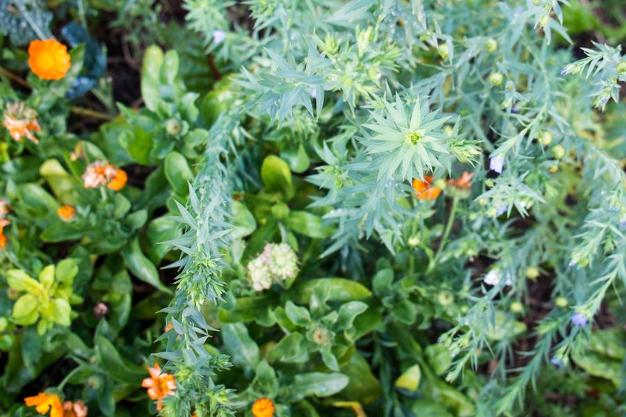 linseed-flaxseed-plant-calendula