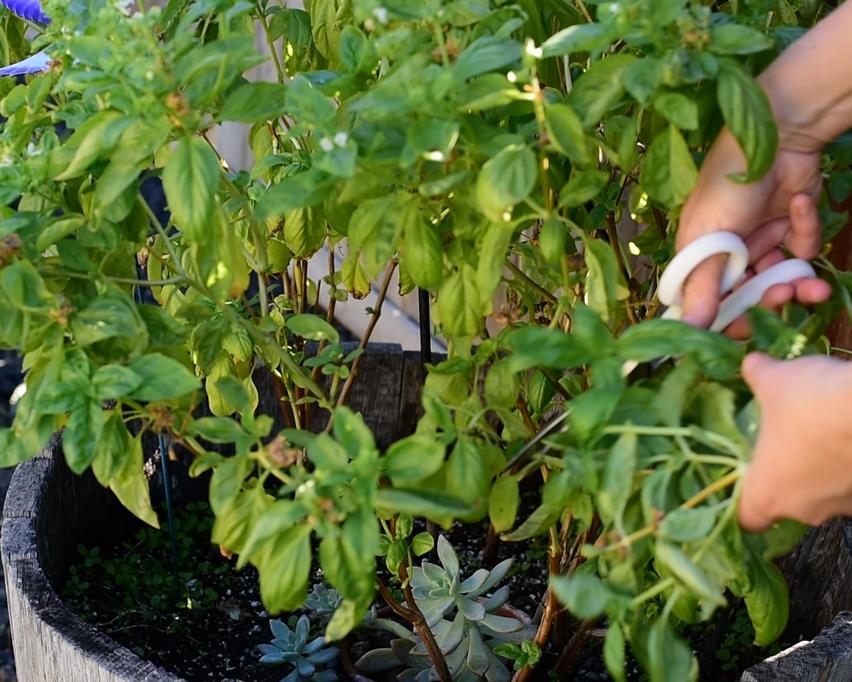 Picking fresh basil from the garden.