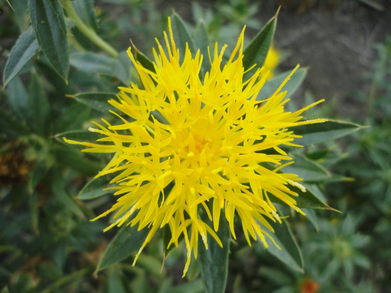 does safflower oil work for weight loss