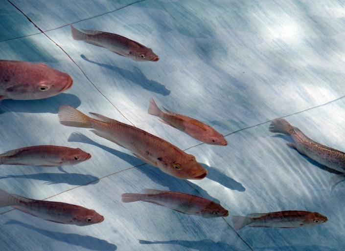 a school of tilapia swims in a pool