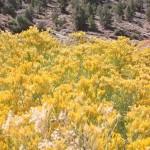 Rabbitbrush along CA168