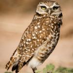 burrowingOwls-5