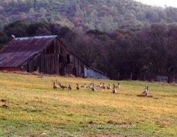Grass Valley Barn and Geese