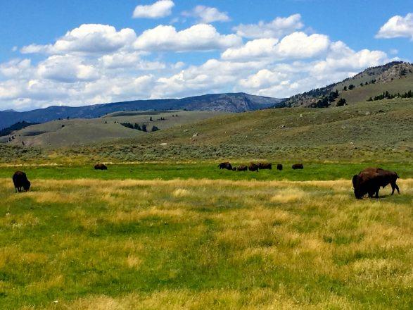 Yellowstone Lamar Valley with Buffalo