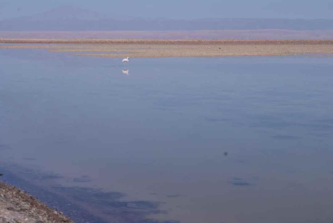 Flamingo at Laguna Chaxa, Atacama Desert Photos