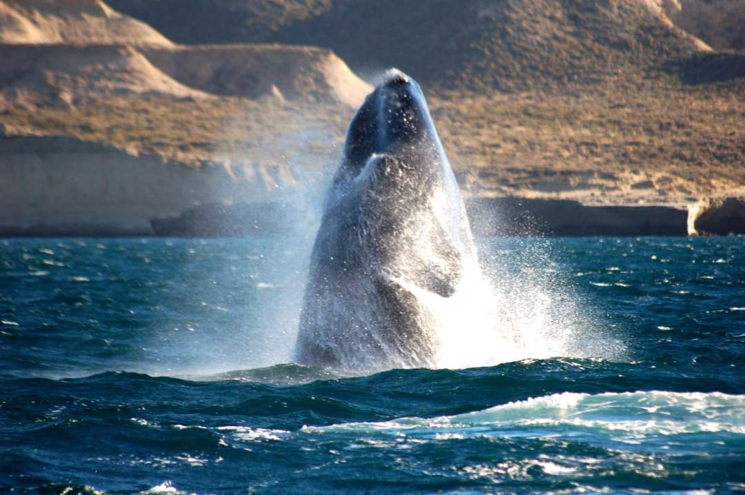 Puerto Madryn Wale Watching - Things to do in Argentina