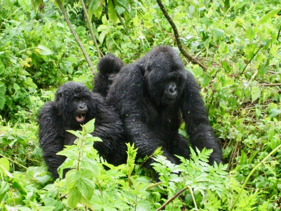 rwanda-mountain-gorillas