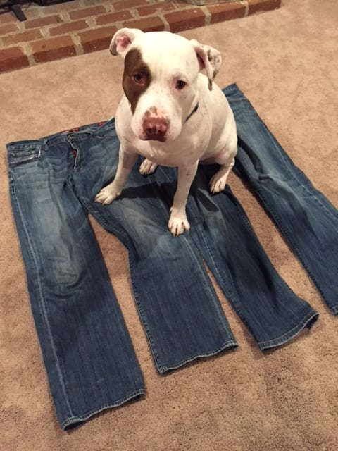 pitbull and old jeans
