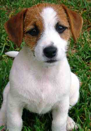 Parson Russell Terrier Dog Breed