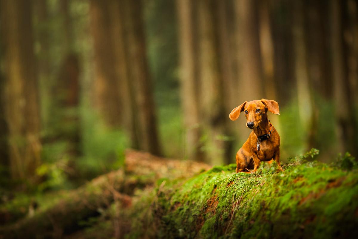 miniature dashound in the wild