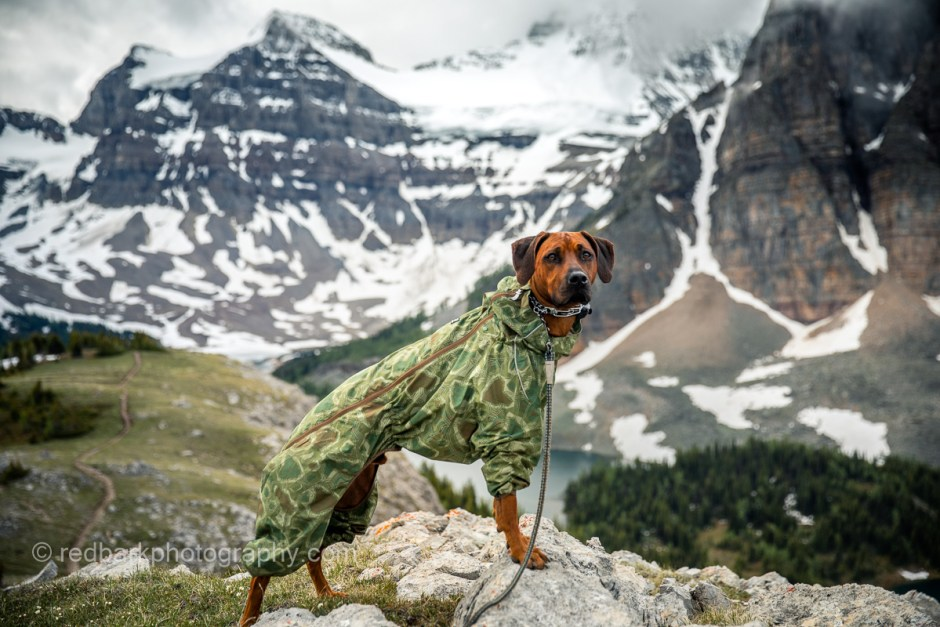 Downpour Hurtta suit jacket with integrated bug repellant in it worn by Bodhi the Ridgeback in Assiniboine Park