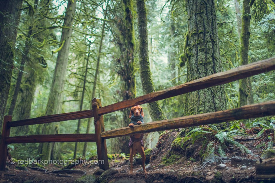 Whiskey the Vizsla looking through a fence in Vancouver