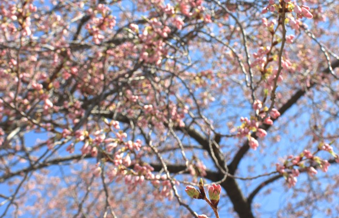 Blooming Cherry Blossoms