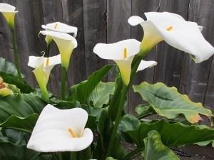 Calla lilies in our garden.