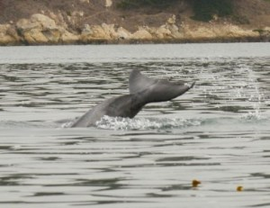 Kayaking with dolphins in Morro Bay, Labor Day Weekend, September 2012.